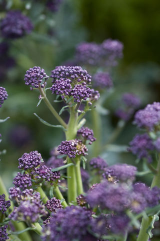 Purplesprouting broccoli